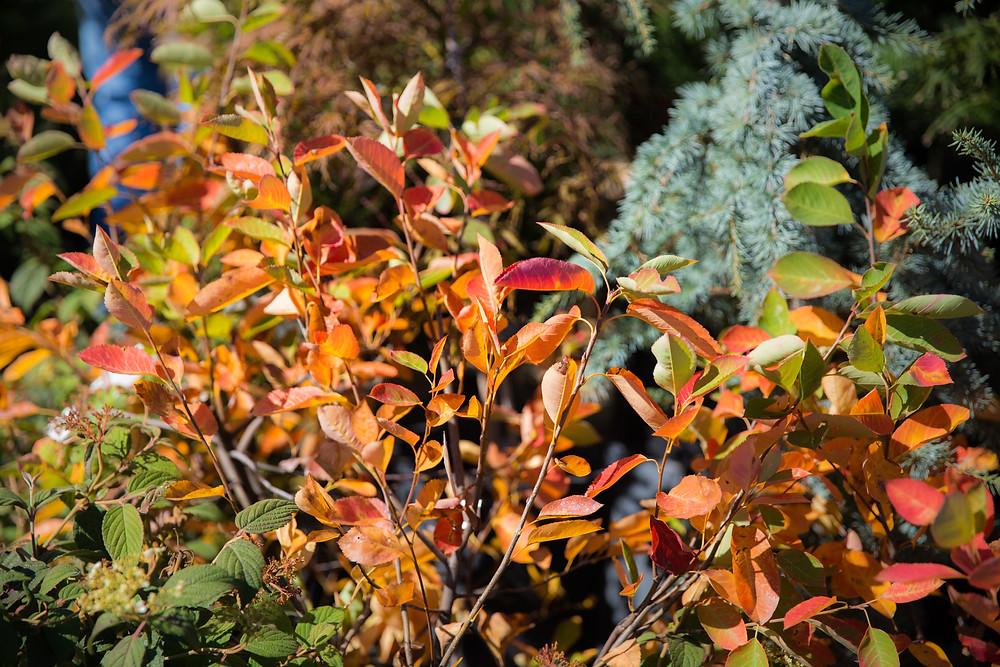 Autumn Brilliance- Shrub with Fall Color