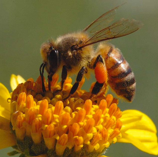 The honey bee is vital in it's role as the sole pollinator for many of our fruits and vegetables.