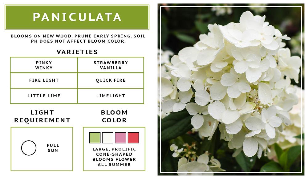 Hydrangea Paniculata- Panicle Hydrangea Variety