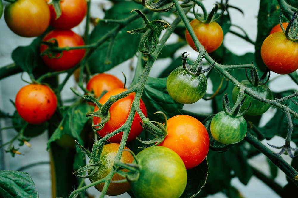 Stakes and tomato cages provide more control for the branches, better sunlight penetration to all parts of the plant, and keeps the plant from sagging so the fruit is accessible, clean, and free from rotting
