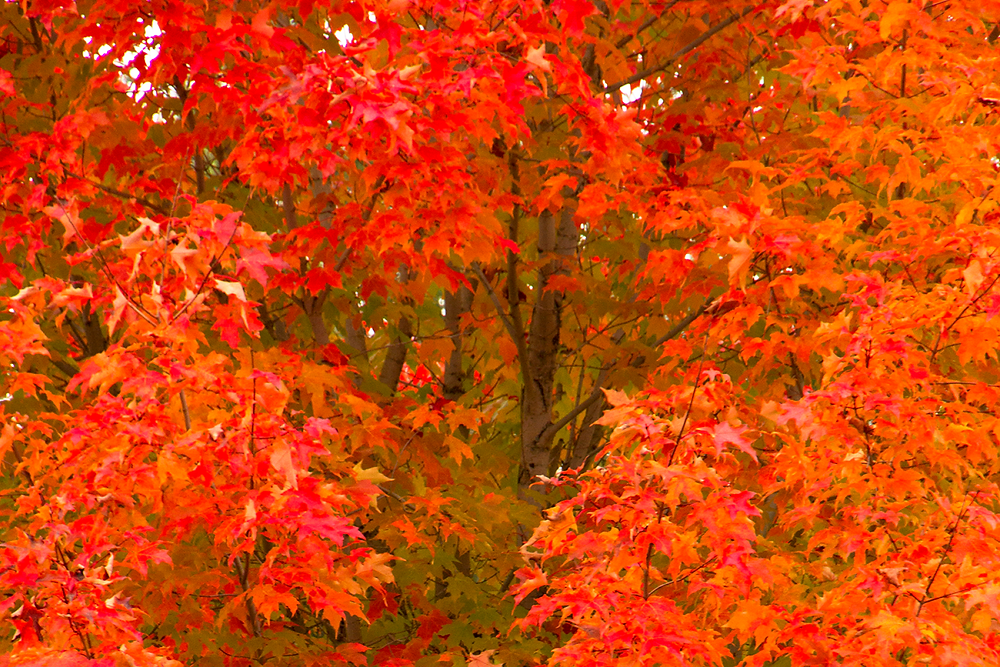 October Glory Maple- Trees with Fall Color