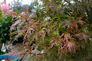 Seiryu Japanese Maple- Trees with Fall Color