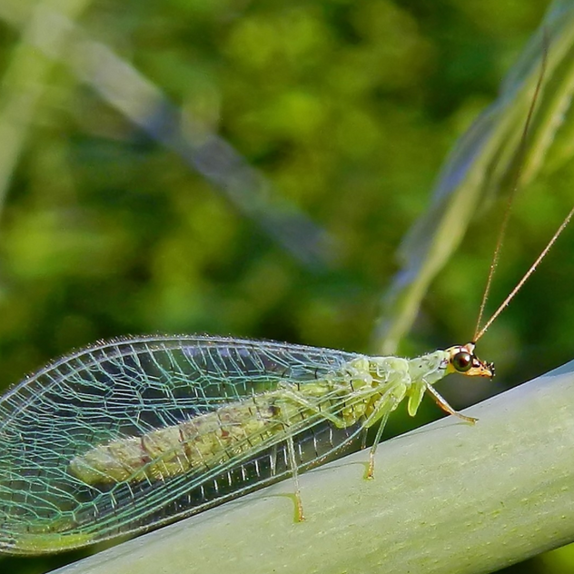 Lacewing larvae will feast on aphids, citrus mealybugs, cottony cushion scale, spider mites, thrips, caterpillars & insect eggs.