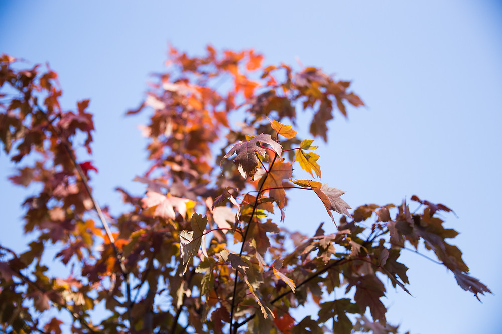 Autumn Blaze Maple- Trees with Fall Color