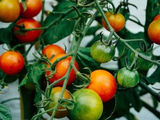 Our Tomato guide: tips and tricks for growing tomatoes