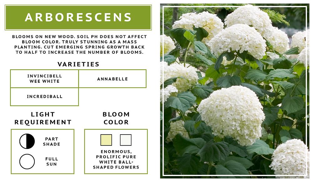 Hydrangea Arborescens- Smooth Hydrangea Variety