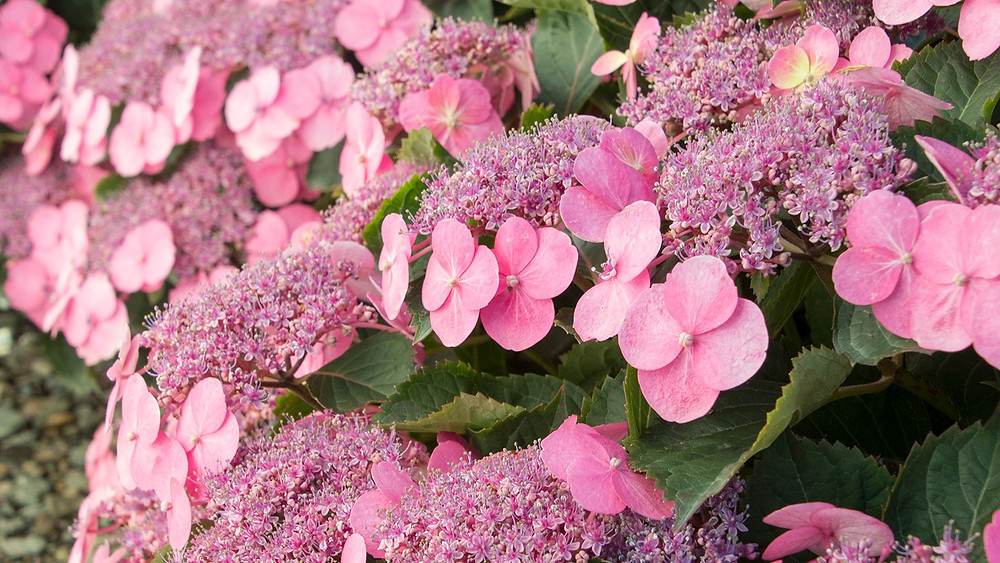 Hydrangea Serrata at Garden Heights Nursery in St. Louis
