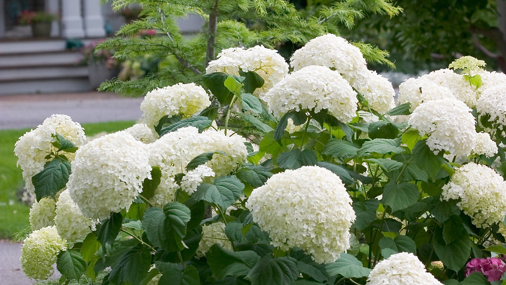 Hydrangea Arborescens- Incrediball at Garden Heights Nursery in St. Louis