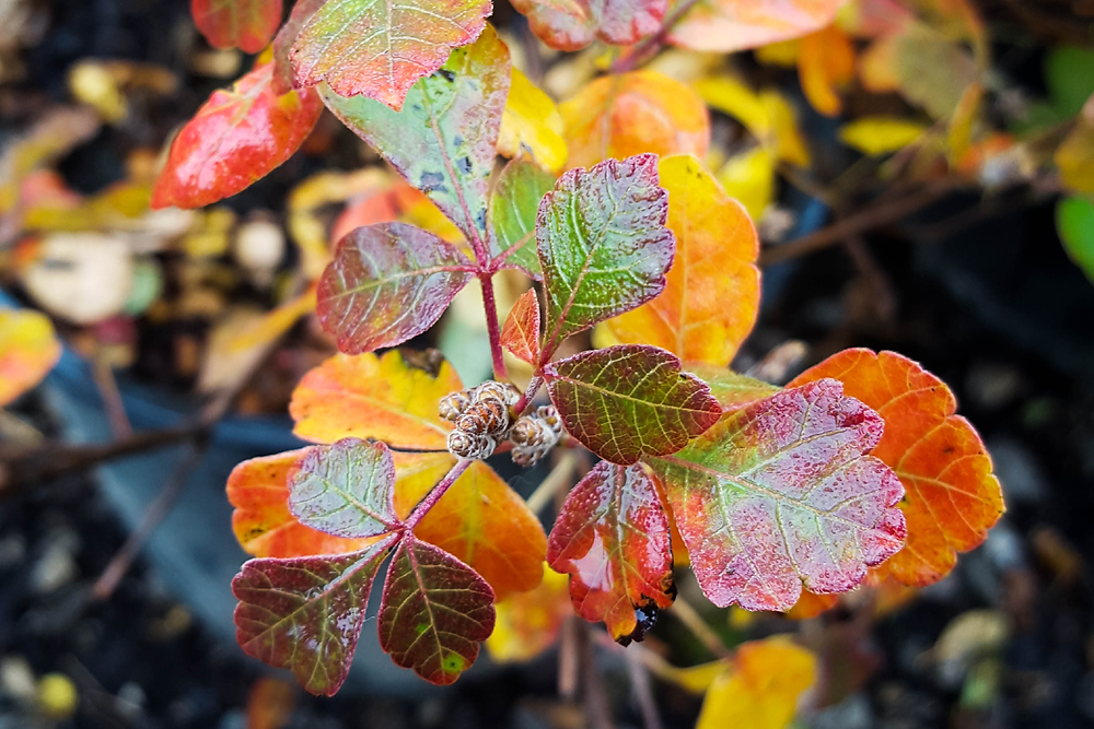 Gro-Low Fragrant Sumac Shrub with Fall Color