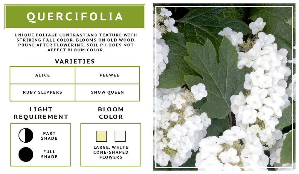 Hydrangea Quercifolia- Oak Leaf Hydrangea Variety