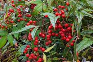 Nandina Domestica- Heavenly Bamboo- with red berries