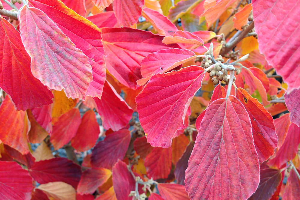 Arnold Promise Witch Hazel with Fall Color