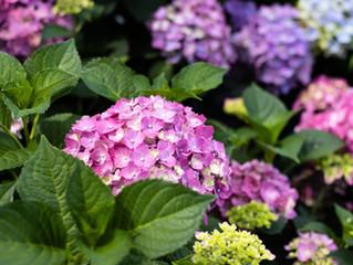 Hydrangea Varieties + Growing Tips