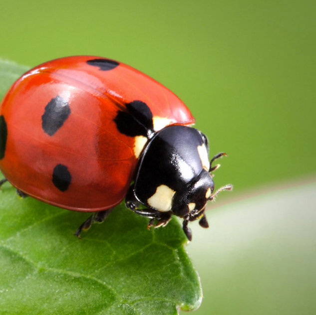 The Lady Bug An adult Lady Bug will consume more than 5,000 aphids in it's lifetime!