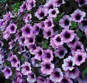 supertunia bordeaux annual of the year