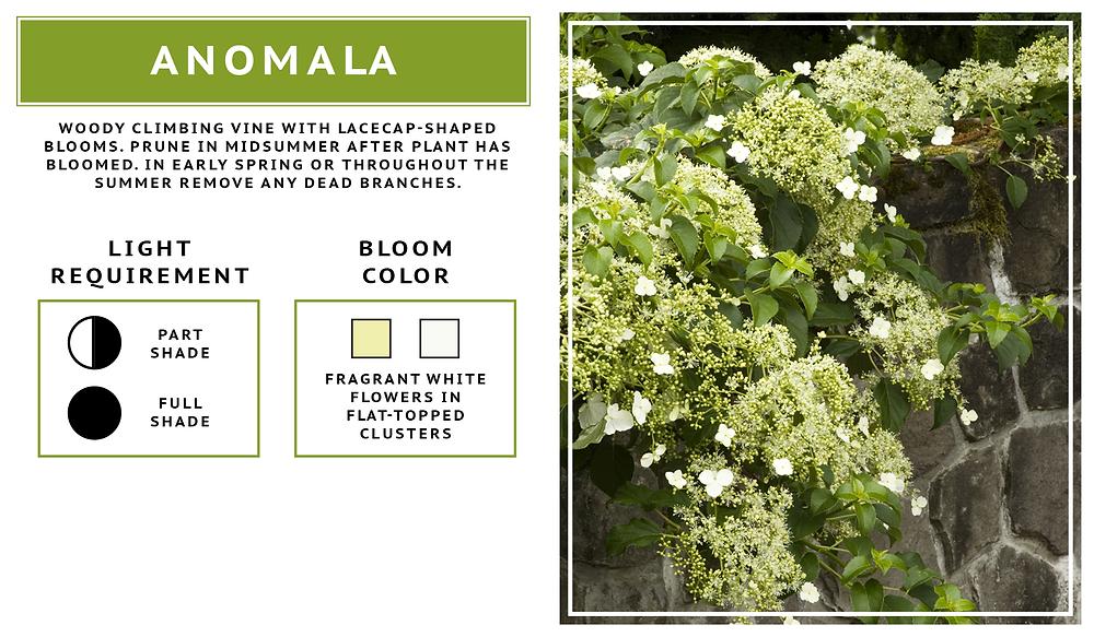 Hydrangea Anomala- Climbing Hydrangea Variety