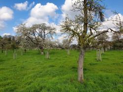 Alden Biesen, hoogstamboomgaard
