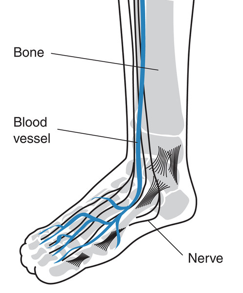 Nerves and blood vessels in human foot.