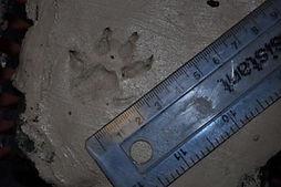 American Mink Foot Print