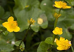 Riparian plant