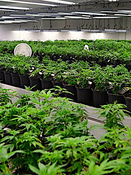 Marijuana Underground GrowingGrow