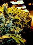 Cannabis under lights