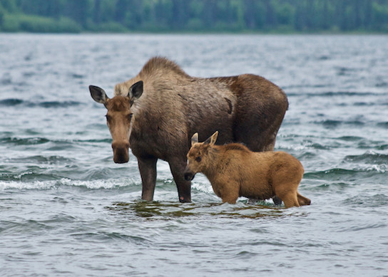 moosecow-calf.jpg