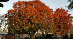 Our beautiful tree with leaves changing color