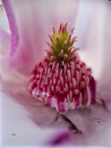 Magnolia Dust