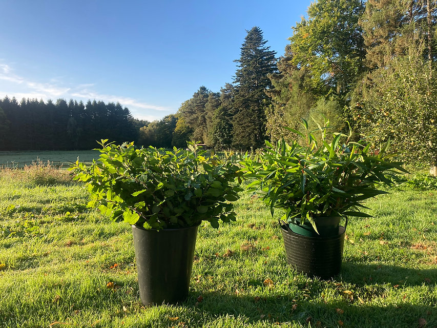 Deeside Willow - Foliage Cuttings