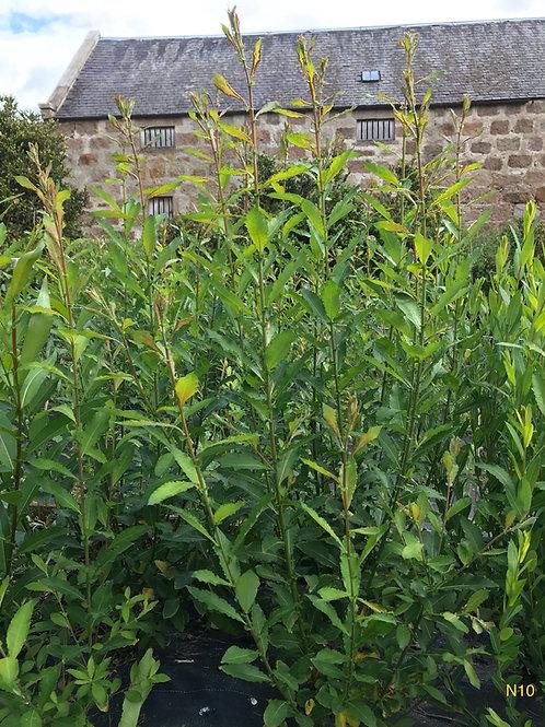 Cuttings - Purple Willow