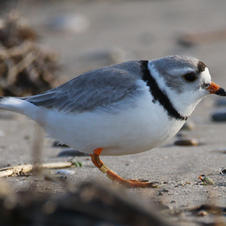 Adult plover foraging.