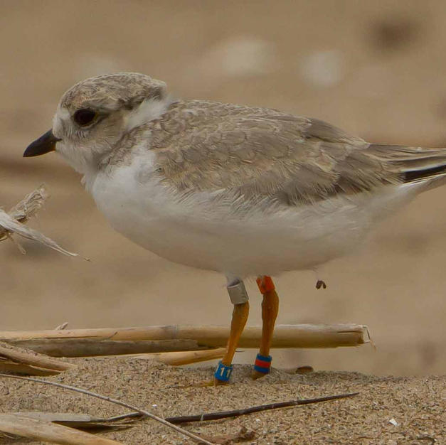 Juvenile plover ready to head south for the winter.