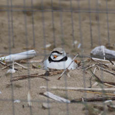 Incubating plover on nest.