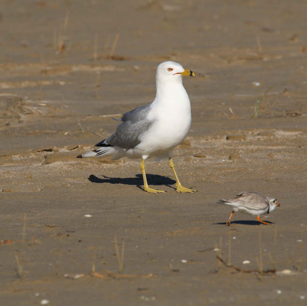 Parent plover distracting the gull.