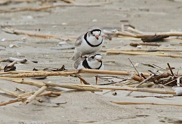 Breeding pair of Piping Plovers