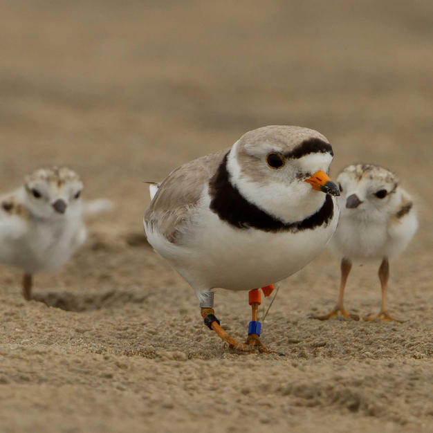 Parent plover and chicks foraging.