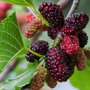 mulberries.png