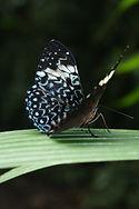 Hamadryas arinome, Tirimbina Costa Rica