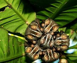 Vampyriscus nymphaea, Tirimbina, Costa Rica