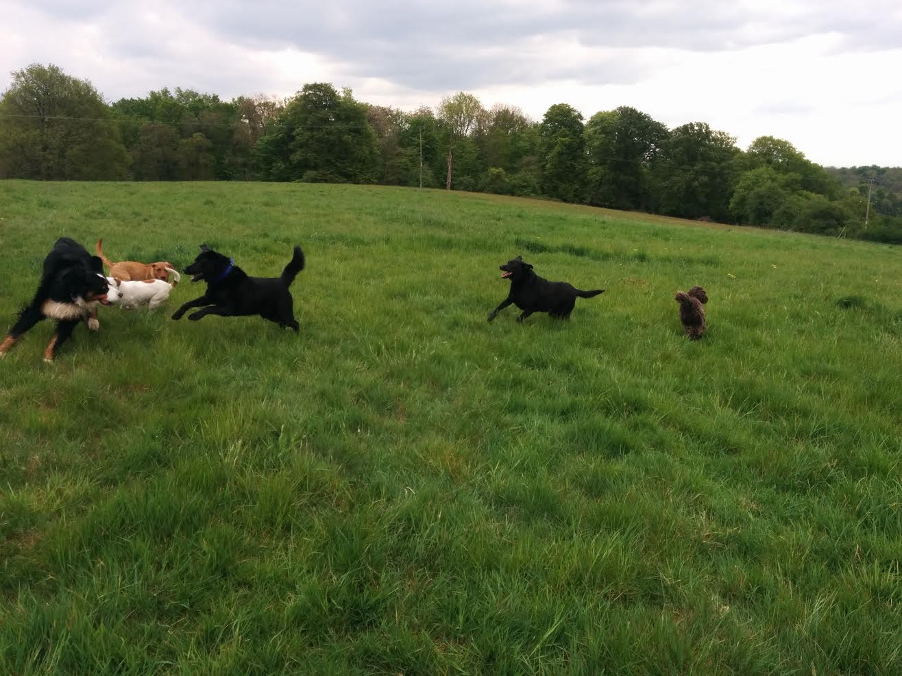 Big dogs playing