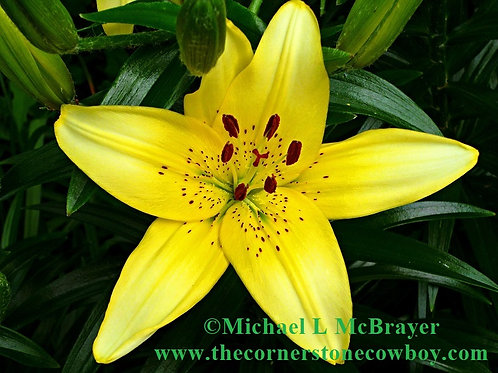 Close-up of Yellow Lily, Outdoor Floral Photography