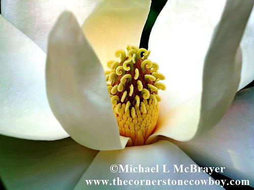 Closeup of Magnolia Bloom Carpels & Stamens, Macro Photography