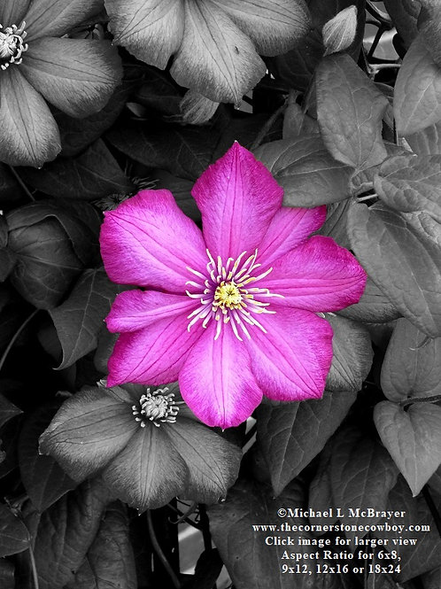 Dark Pink Clematis Bloom on Black Leaves, Special Effects Photo