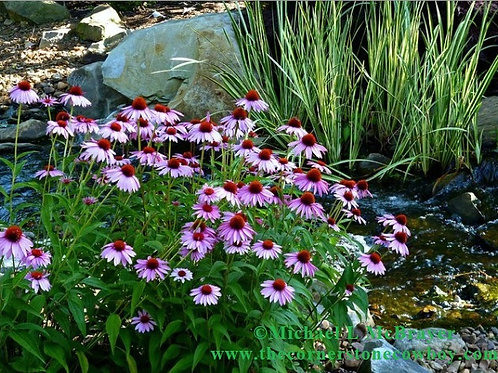Garden Stream and Purple Coneflowers Greeting Card, White Mailing Envelope
