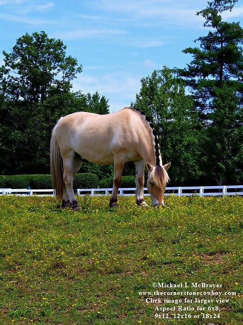 Norwegian Fjord Horse in Pasture, Equine Photo