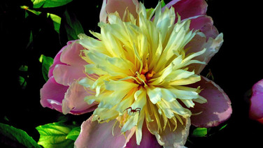 Peony and Crab Spider