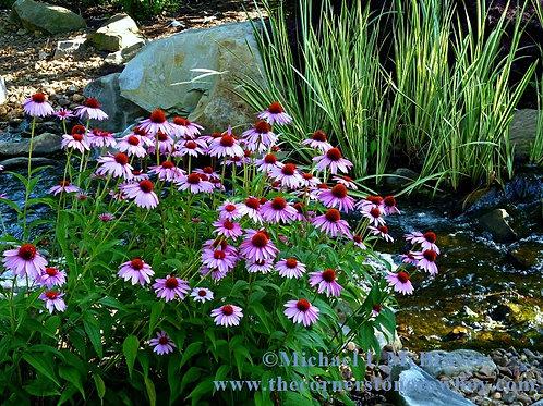 Garden Stream and Purple Coneflowers, Nature Photography
