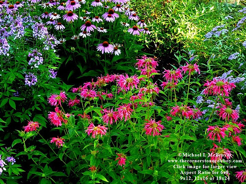 Red Bee Balm with Purple Coneflowers, Nature Photo