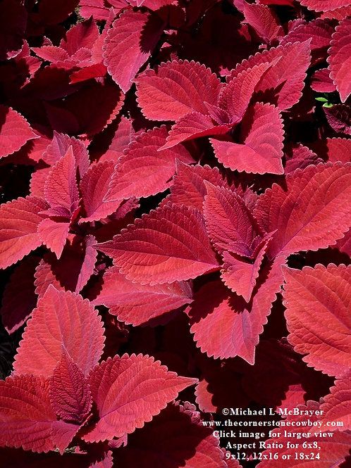 Red Leaf Coleus Close-up, Macro Garden Photography